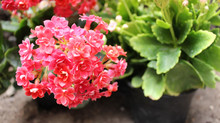 Tiny Flowers Of The Kalanchoe Plant