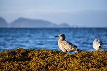 Birds On A Rocky Shore During A Sunny Summer Evening. Taken In Port Hardy In Vancouver Island, British Columbia, Canada.