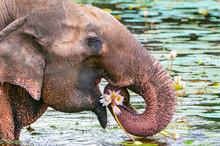 Asian Or Asiatic Elephant (Elephas Maximus) Eating Water Lily In Yala National Park, Sri Lanka.