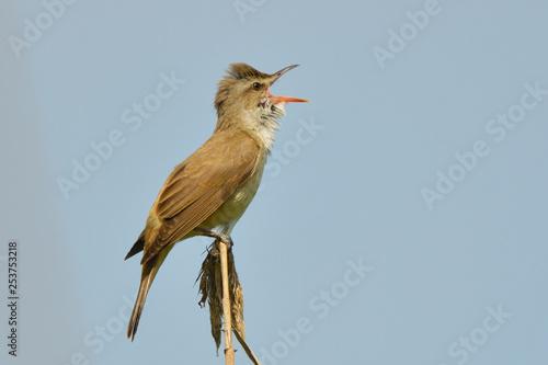 Cuadros en Lienzo Great reed warbler on a reed stick