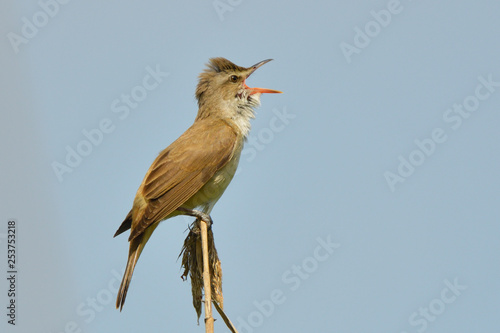 Fototapeta Great reed warbler on a reed stick