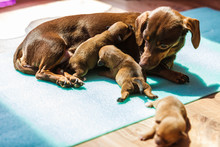 Little Dachshund Mom Feeding P...
