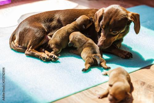 Little dachshund mom feeding puppies newborns - Buy this