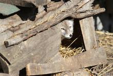 Corsac Fox In Its Den