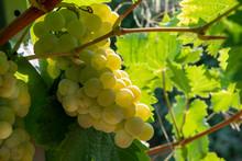 Ripe White Wine Grapes Plants On Vineyard In France, White Ripe Muscat Grape New Harvest