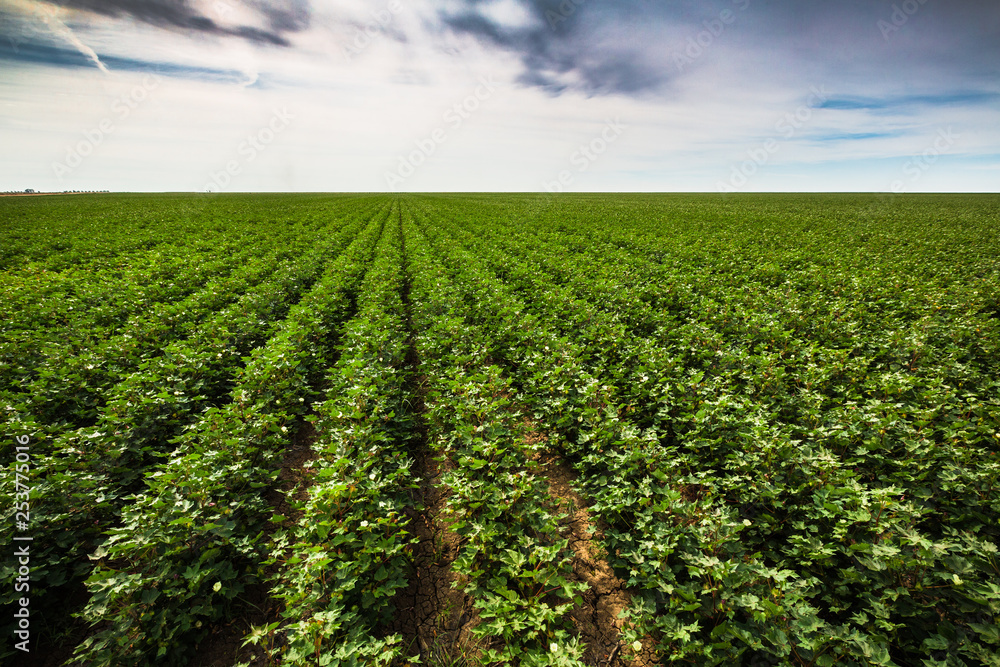 Fototapeta Infinite tomato plantation running to the horizon. Tomato plantation.  South west New South Wales.  Part of a large group of crops, this one runs for more than 2 kilometres.