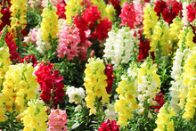 Colorful Nature Multicolored Snap Dragon Group Or Antirrhinum Majus Flowers Blooming In Garden , Outdoor Background