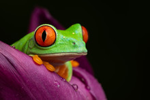 Tree Frog In A Tulip II