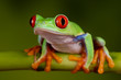 Red Eyed Tree Frog - Solo