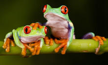 Red Eyed Tree Frogs - Hand On ...