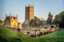 Cotswold Sheep Neer Chipping Campden In Gloucestershire With Church In Background