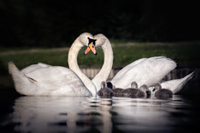 Family Of Swans Making A Heart With Their Necks