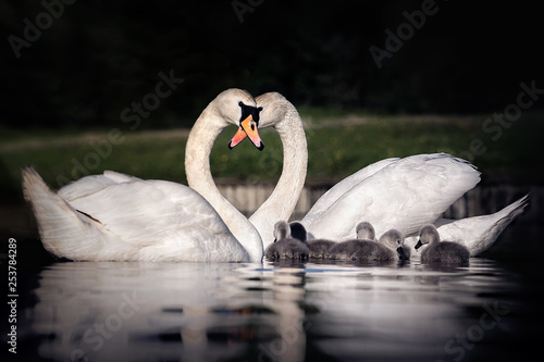 Tablou Canvas family of swans making a heart with their necks