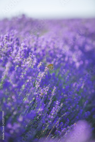 Poster Prune Lavender flowers and little butterfly on flower in a soft focus
