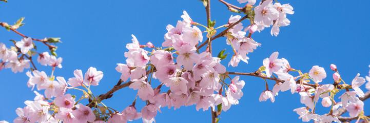 Panel Szklany Do kuchni Pink spring cherry blossom, blue sky panoramic background