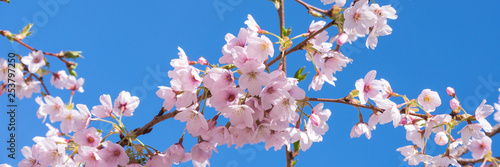 Fototapeta Pink spring cherry blossom, blue sky panoramic background