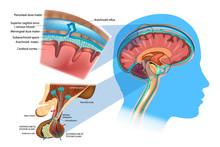 Anatomy Of The Brain: Meninges...