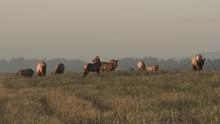 Herd Of Elk Feeding On Tall Gr...