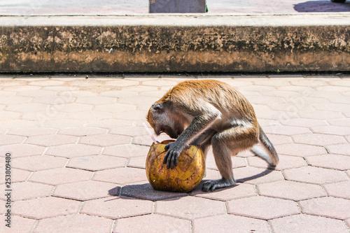 A monkey eating a coconut in Batu caves in Kuala Lumpur, Malaysia Canvas Print