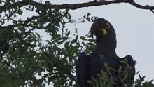 Lear Macaw Resting On Tree Of Caatinga Brazil Closeup
