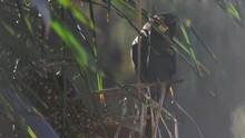 Lear's Macaw On Licuri Palm Ea...