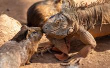 Iguana And Guinea Pig Kissing