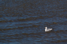 Seagull Swimming Towards The O...