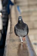 Wild Urban City Pigeon Strutting Along The Hand Rail Of Tower Bridge, London, UK