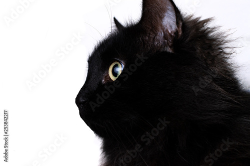 Photo Stands Panther Black cat with white background.