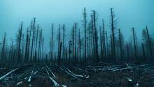 Skeletal Tree Trunks After For...