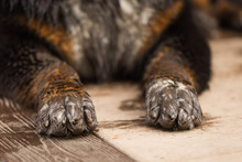 Closeup Of Dirty Dog Paws