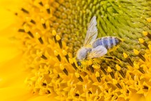 Honey Bee Covered With Yellow Pollen Collecting Sunflower Nectar. Animal Sitting At Sunny Summer Sun Flower. Important Collect Environment Ecology Sustainability. Awareness Of Nature Climate Change