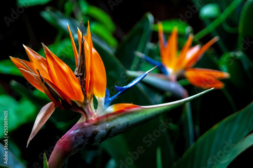 Fotografie, Obraz  close up from a bird of paradise blossoms