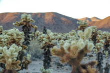 Teddy Bear Cholla Cactus Garde...