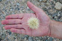 Hand Holding A Teddy Bear Cholla Cactus