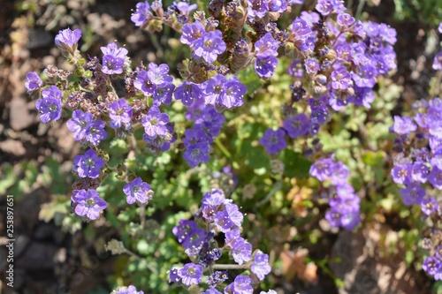 Purple Wildflowers Flowers Arizona Desert Sonoran Buy This Stock