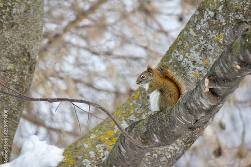Close up view of an American red squirrel sitting on a tree branch in winter
