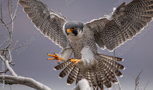 Peregrine Falcon Wallpaper Mural