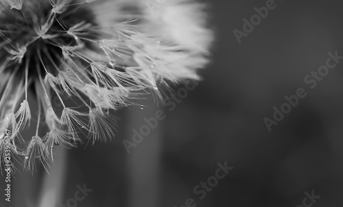 Black and white abstract dandelion background, closeup with soft focus. - Image #253909867