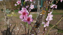 Cherry Blossoms At Spring