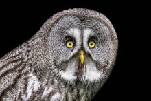 A Half Length Portrait Of A Great Grey Gray Owl Looking Staright At The Camera With Big Yellow Eyes Against A Black Background