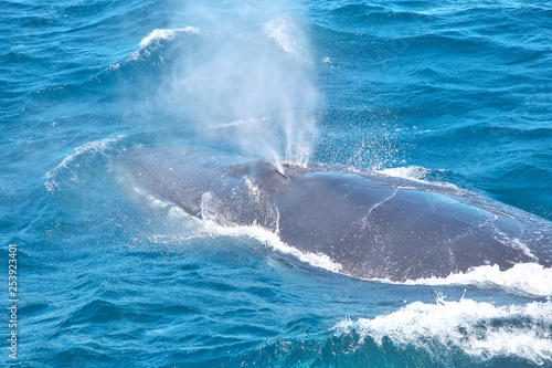 Obraz na plátně humpback whale blowhole spout