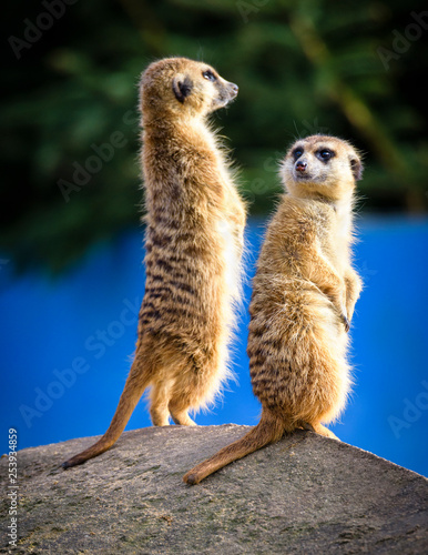 Fototapeta Meerkat (Suricata suricatta), also known as the suricate.