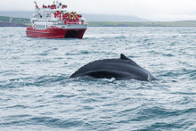 Whale Watching From Akureyri, Iceland. Whale In Nature