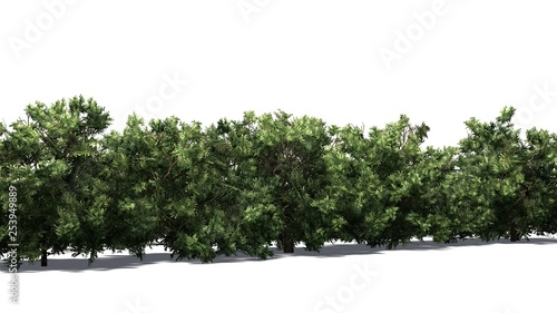 American Boxwood hedge with shadow on the floor - isolated on white background Poster Mural XXL