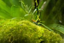 Blue Poison-dart Frog (Dendrob...