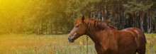 Brown Horse, Portrait, Head, Close Up, Summer In The Forests