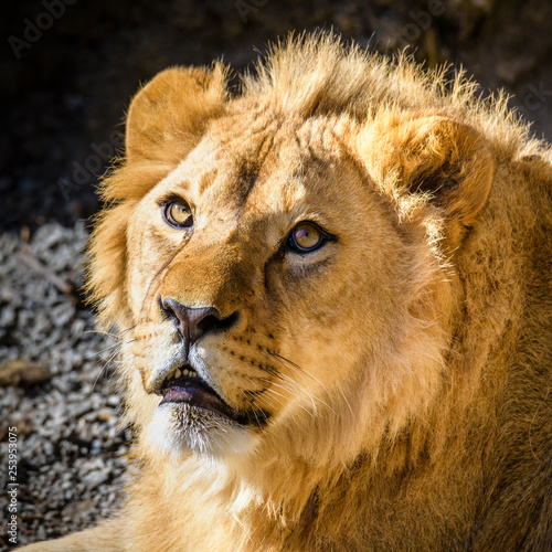 Fototapety, obrazy: Portrait of South African lion (Panthera leo krugeri) relaxing in a meadow at ZOO