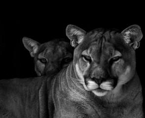 Portret zbliżenie niewoli Cougar znany również jako Puma w zoo w Republice Południowej Afryki
