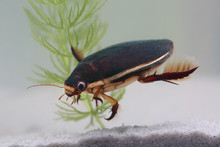 Diving Beetle Among Water Plants In Pond